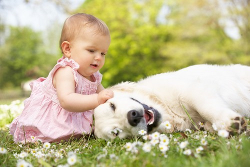 Infant plays with adult golden retriever in grassy lawn